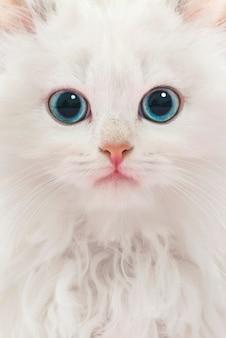 Portrait de jeune chat blanc