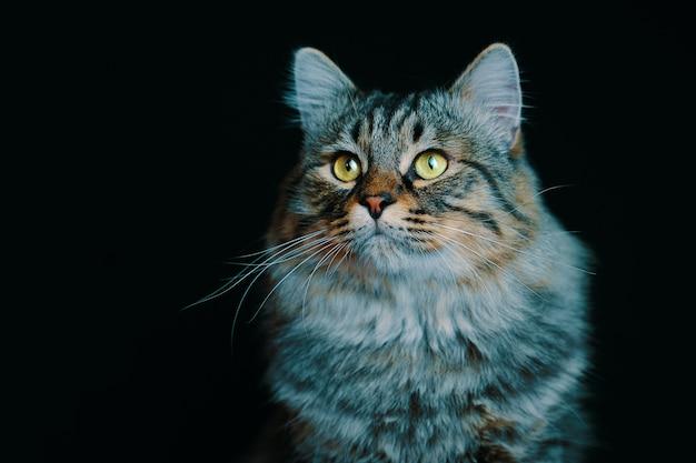Portrait d'un jeune chat pelucheux rayé dans l'obscurité