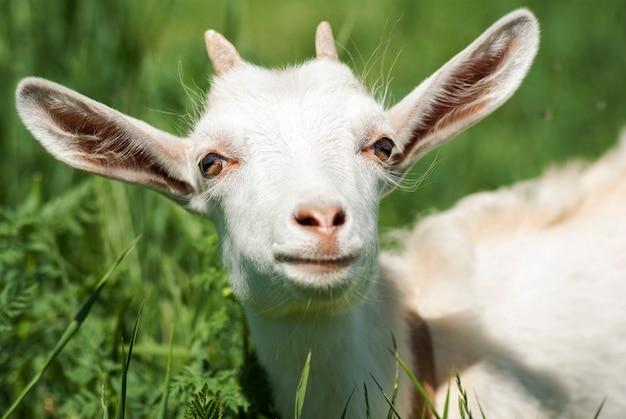 Portrait d'une jeune chèvre blanche close-up