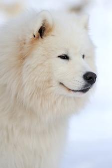 Portrait de jeune chien husky sibérien