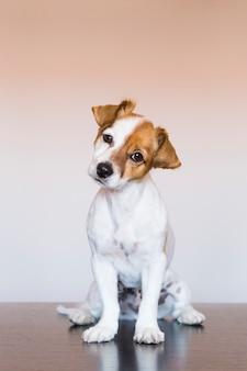 Portrait d'un jeune chien mignon sur fond blanc en regardant la caméra. amour pour les animaux concept. assis sur une table en bois.animaux à l'intérieur.