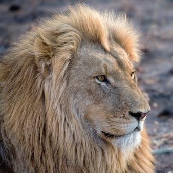 Portrait d'un jeune lion mâle