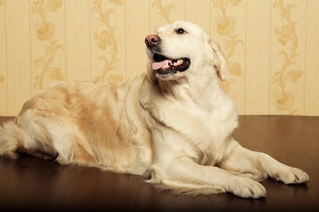 Portrait d'un jeune mâle labrador retriever