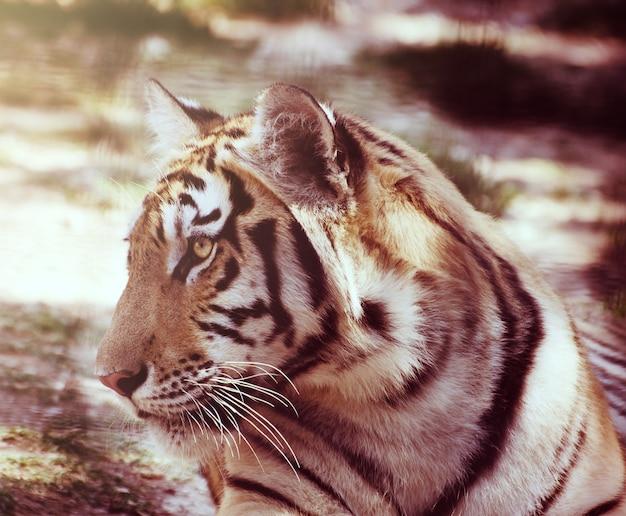 Portrait de jeune tigre au repos sur un sol