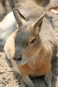Portrait de kangourou