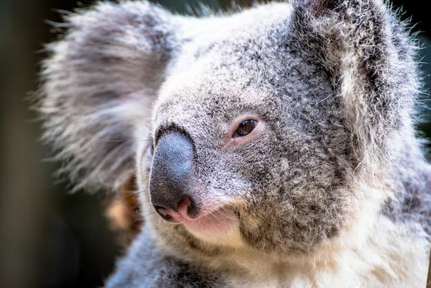 Portrait de koala bear en australie