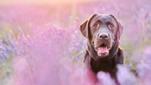 Portrait d'un labrador chocolat dans un champ de lavande avec une faible profondeur de champ