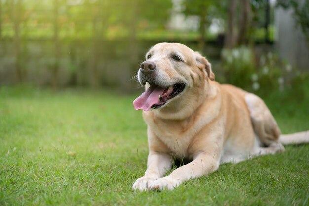 Portrait de labrador ludique sur l'herbe