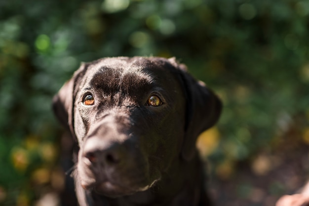 Portrait d'un labrador noir dans un parc