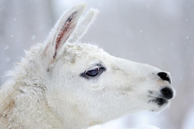 Portrait d'un lama en hiver