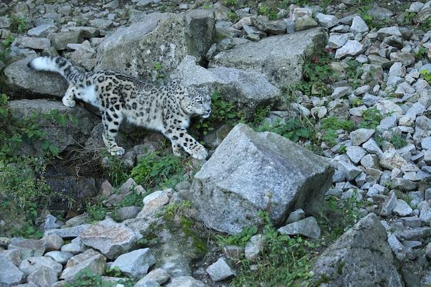 Portrait de léopard des neiges dans une lumière incroyable