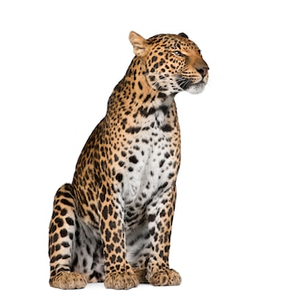 Portrait de léopard, panthera pardus, debout