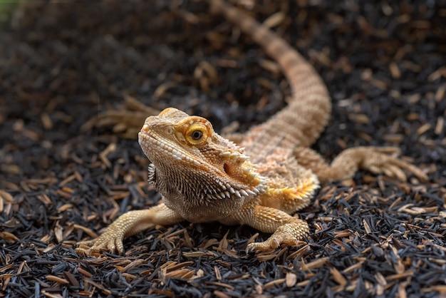 Portrait d'un lézard dragon barbu