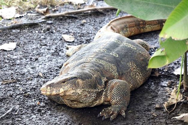 Portrait d'un lézard moniteur, varanus timorensis est allongé sur le sol en journée ensoleillée.