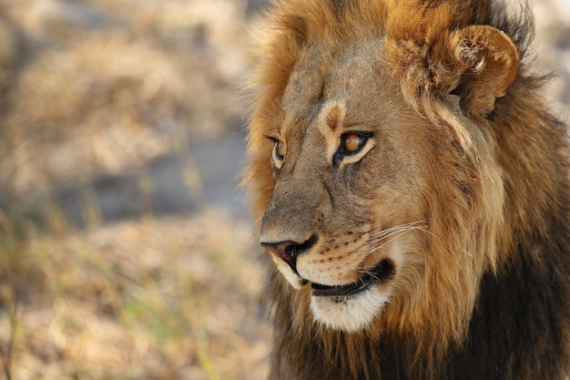 Portrait de lion d'afrique dans la lumière chaude