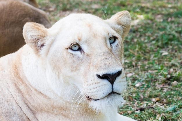 Portrait de lionne blanche