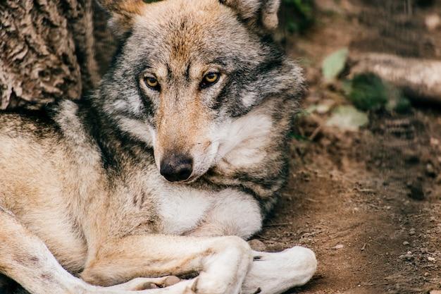 Portrait de loup couché sur le sol dans la nature