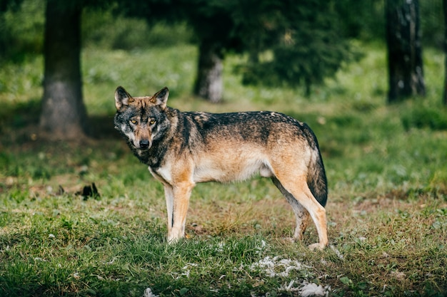 Portrait de loup dans la forêt