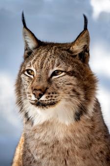 Portrait de lynx sur fond de neige dans le milieu naturel