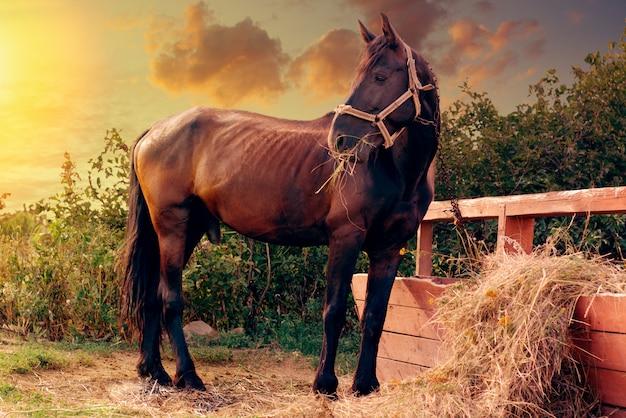 Portrait d'un magnifique cheval noir en train de se nourrir près d'un attelage dans la ferme.