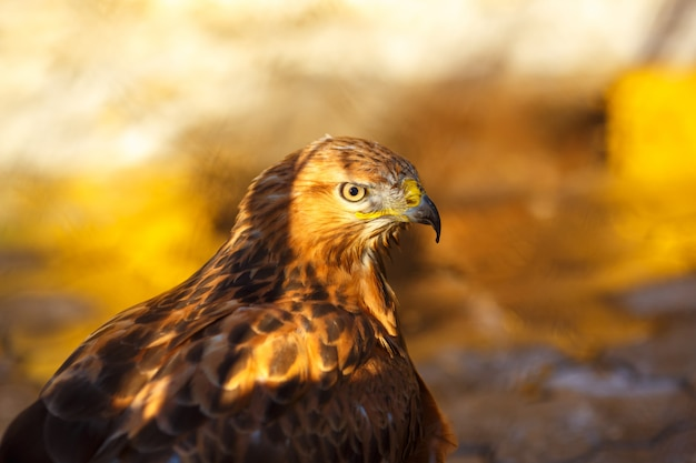 Portrait d'un magnifique oiseau faucon gros plan