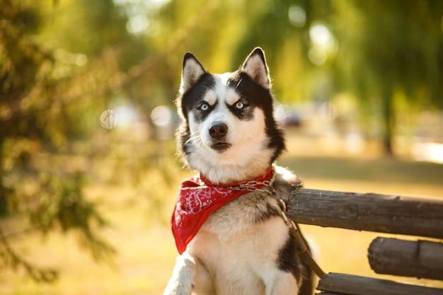 Portrait de magnifiques chiens de race husky en journée d'été