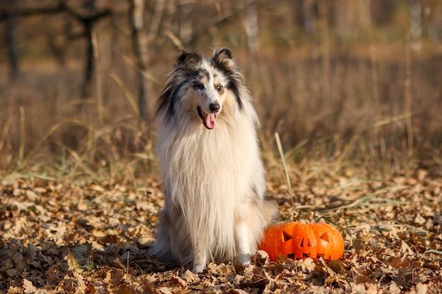 Portrait d'un merle collie aux cheveux rugueux bleu merle avec une citrouille pour halloween dans un parc en automne