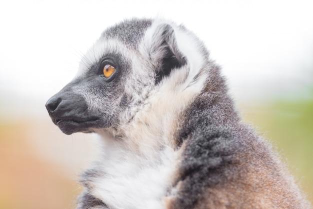 Portrait d'un mignon anneau à queue de lémurien, lemur catta.