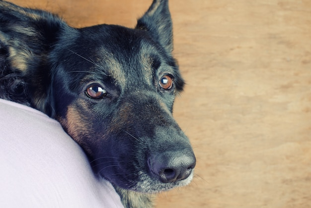 Portrait d'un mignon berger allemand pensif regardant par-dessus l'épaule de son propriétaire