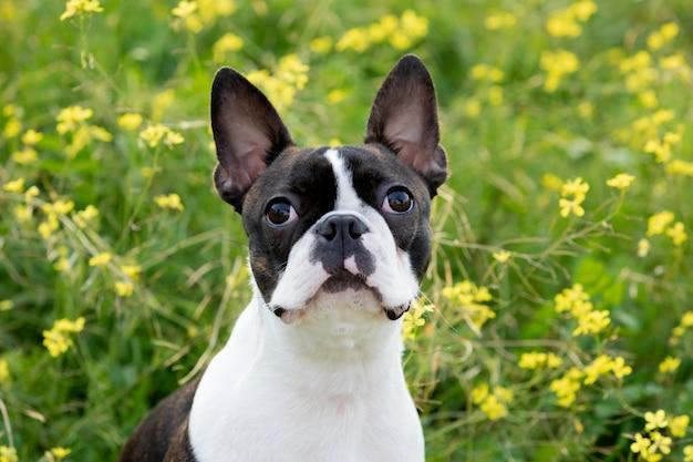 Portrait d'un mignon boston terrier