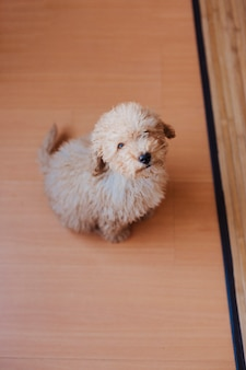 Portrait d'un mignon caniche jouet assis sur le sol et regardant la caméra, le jour, à l'intérieur.