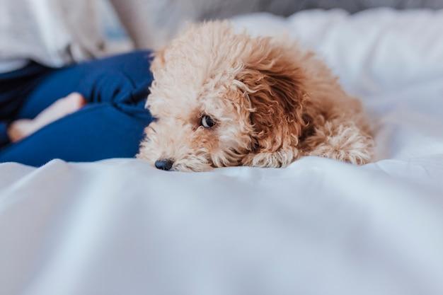 Portrait d'un mignon caniche jouet debout sur le lit et en regardant la caméra, le jour, à l'intérieur.
