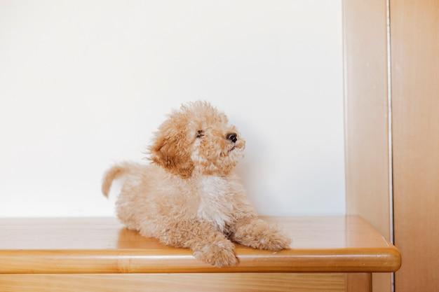 Portrait d'un mignon caniche jouet debout sur la table, de jour, à l'intérieur.
