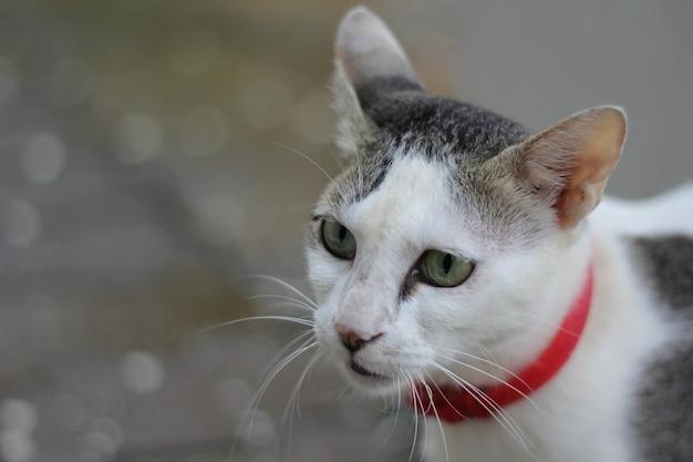 Portrait d'un mignon chat blanc et gris avec une laisse rouge à l'extérieur avec une verdure floue
