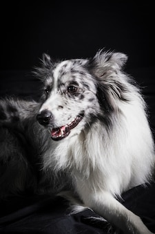 Portrait de mignon chien border collie