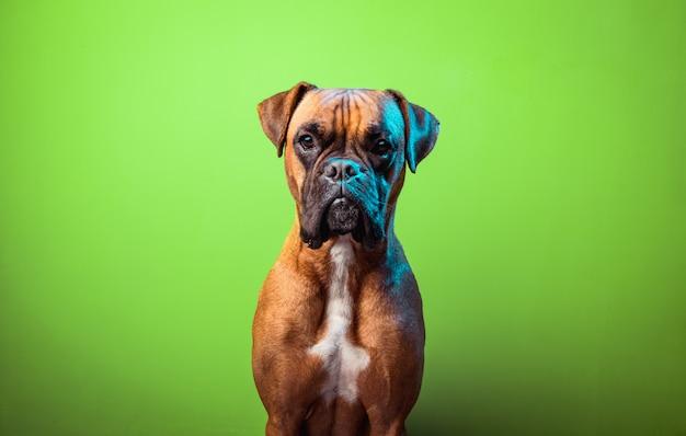 Portrait de mignon chien boxer sur fond vert
