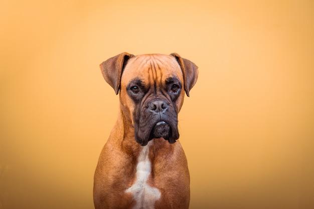 Portrait de mignon chien boxer