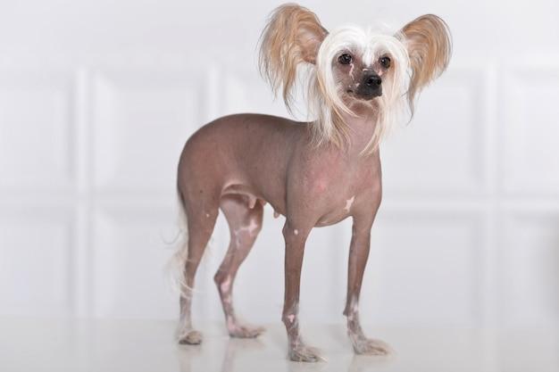 Portrait d'un mignon chien chinois à crête sur l'arrière-plan