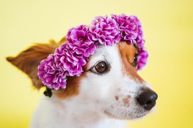 Portrait de mignon chien jack russell portant une couronne de fleurs sur fond jaune