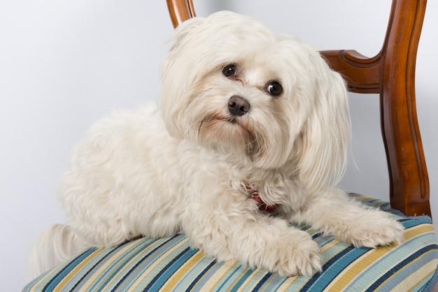 Portrait de mignon chien maltais sur la chaise à l'intérieur
