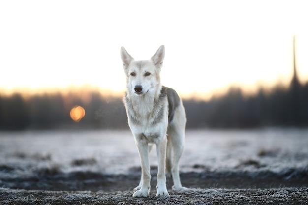 Portrait d'un mignon chien de race mixte à pied en hiver à l'aube avant le lever du soleil