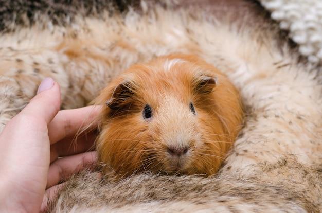 Portrait de mignon cochon d'inde rouge