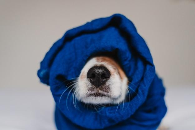 Portrait de mignon jack russell enveloppé dans un mouchoir bleu