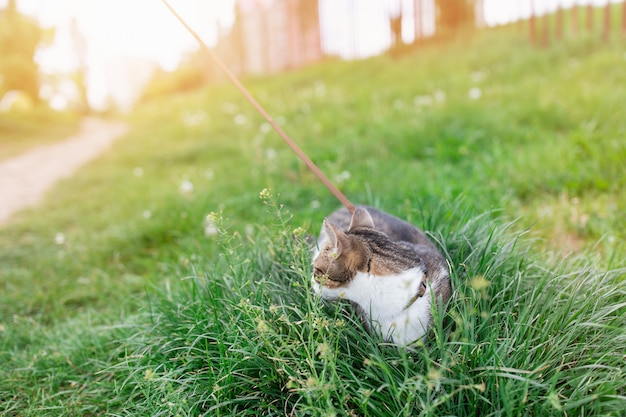 Portrait de mignon jeune chat domestique tabby domestique, portant un harnais, marchant en laisse en plein air dans le parc sur la pelouse, mangeant de l'herbe verte. concept de santé et de sécurité des animaux domestiques, espace copie