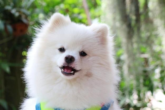 Portrait d'un mignon jeune chien blanc de poméranie sourire dans le parc