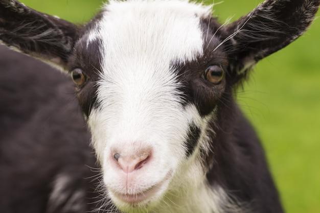 Portrait d'un mignon petit chèvre agrandi.