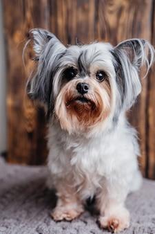 Portrait d'un mignon petit chien castor sur fond de bois