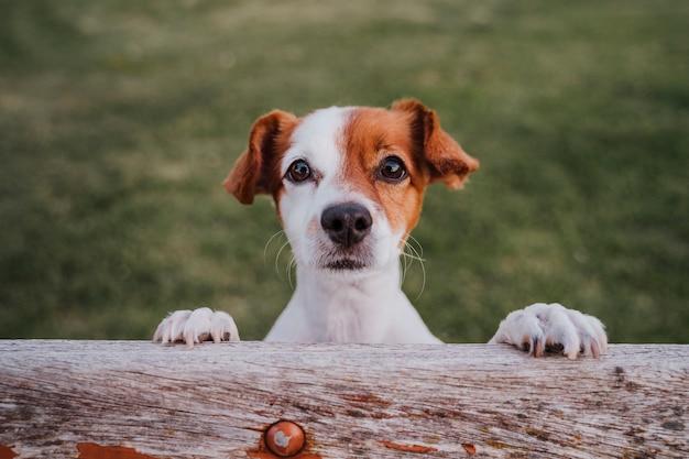 Portrait de mignon petit jack russell terrier debout sur deux pattes sur l'herbe dans un parc