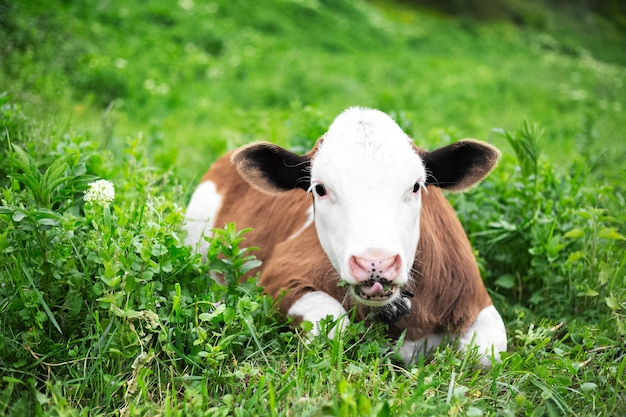 Portrait de mignon veau de vache, couché sur l'herbe verte dans le pré et manger. regardant la caméra.