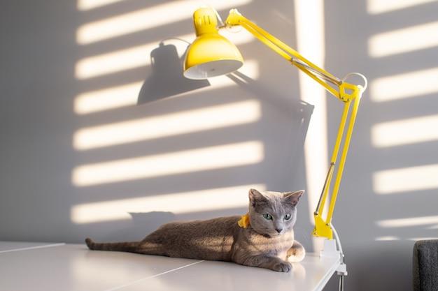 Portrait de mode flou de chat bleu russe de race pure avec noeud papillon jaune décoratif sur le cou sur la table avec lampe. ombre et lumière tombant à travers les stores sur le mur derrière. pussycat à l'intérieur de la maison